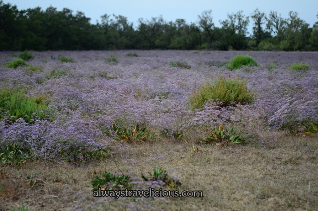 Sea lavender @ Camargue France