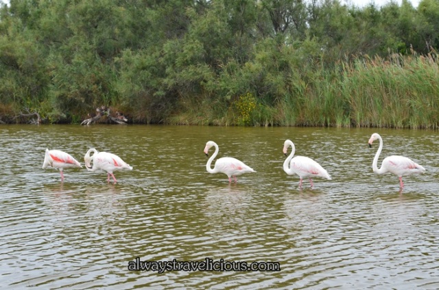 Flamingos @ Parc Ornithologique @ Camargue 4