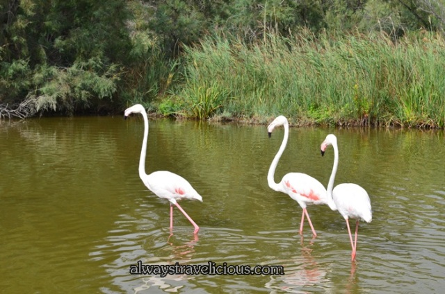 Flamingos @ Parc Ornithologique @ Camargue 6