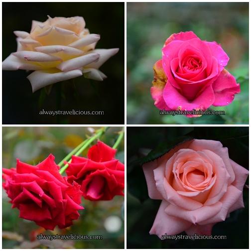 Rose Valley @ Cameron Highlands 1