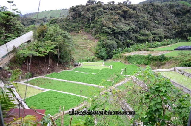 Watercress Valley @ Cameron Highlands 24