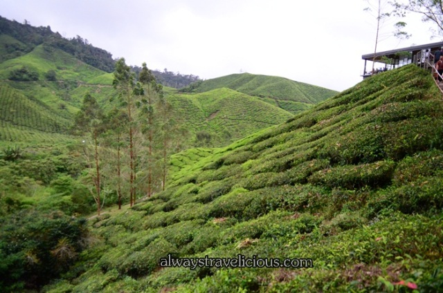 Sungai Palas Tea Plantation @ Cameron Highlands