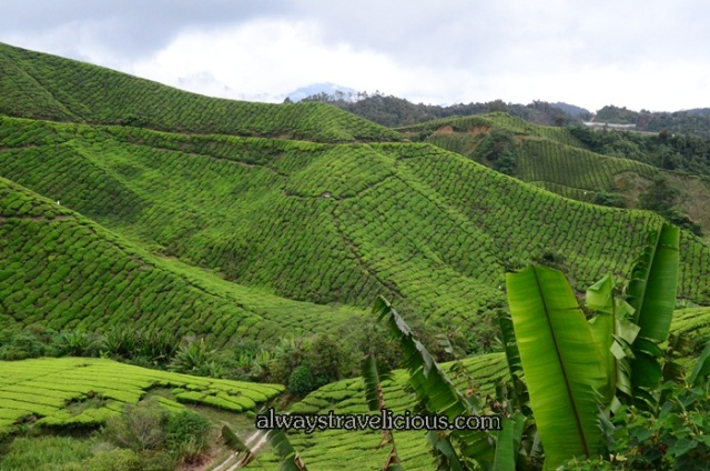 boh tea plantation @ Cameron Highlands 7