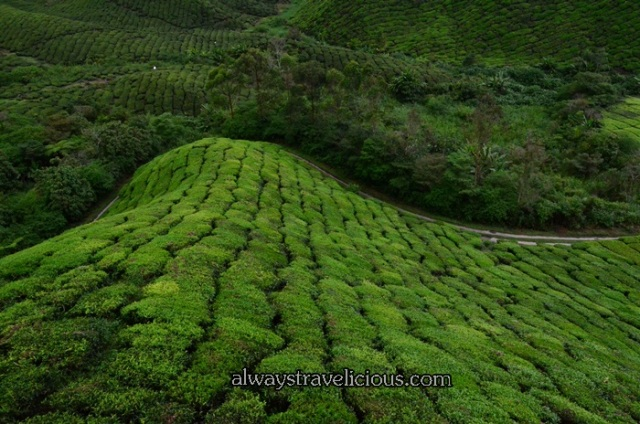 boh tea plantation @ Cameron Highlands 8