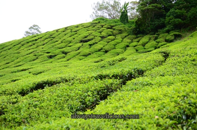 boh tea plantation @ Cameron Highlands 21