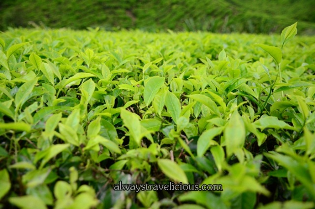 boh tea plantation @ Cameron Highlands 24
