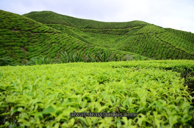 boh tea plantation @ Cameron Highlands 25