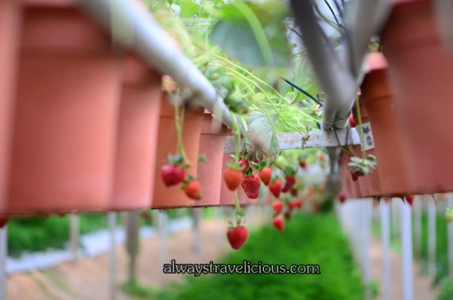 Big Red Strawberry Farm @ Cameron Highlands 3