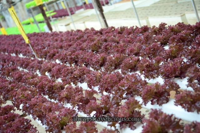 Big Red Strawberry Farm @ Cameron Highlands 8