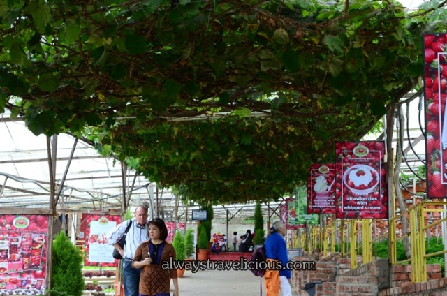 Big Red Strawberry Farm @ Cameron Highlands 9