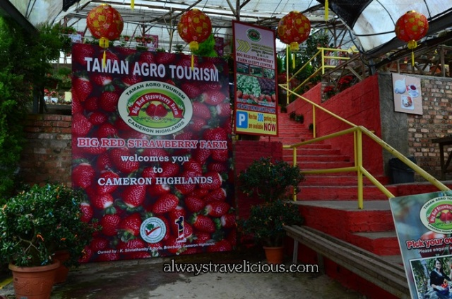 Big Red Strawberry Farm @ Cameron Highlands 22