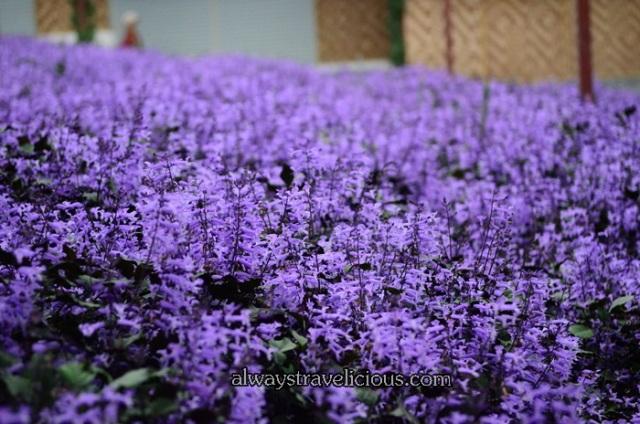 lavender garden @ Cameron highlands 4
