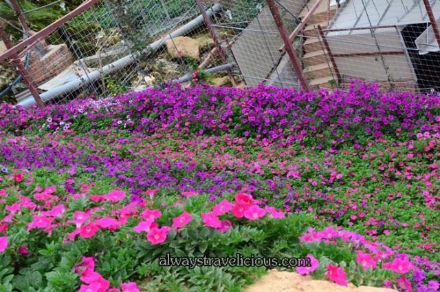 lavender garden @ Cameron highlands 20