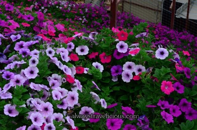 lavender garden @ Cameron highlands 21