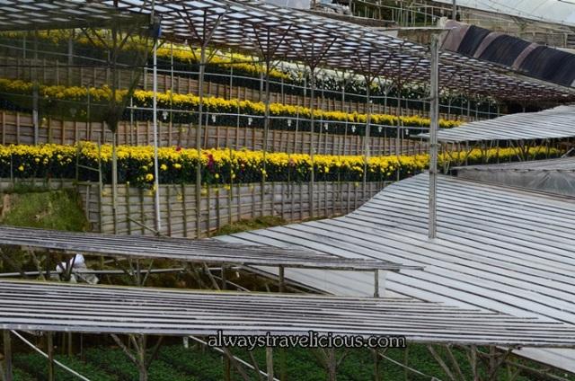 lavender garden @ Cameron highlands 24