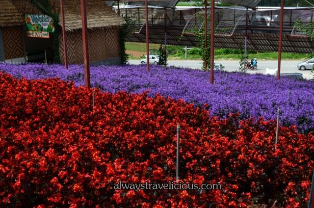 lavender garden @ Cameron highlands 42