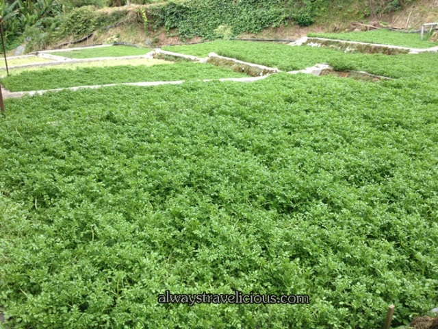 Watercress Valley @ Cameron Highlands 9