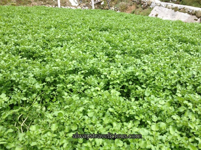 Watercress Valley @ Cameron Highlands 7