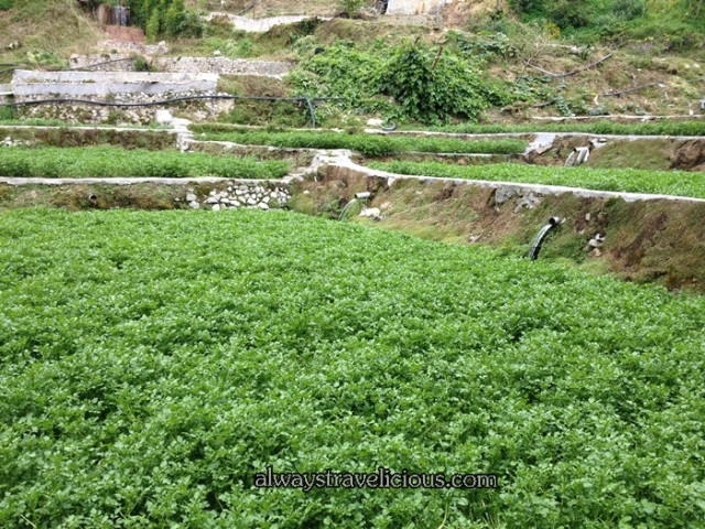 Watercress Valley @ Cameron Highlands 5