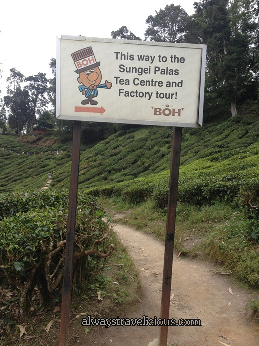 boh tea plantation @ Cameron Highlands 27
