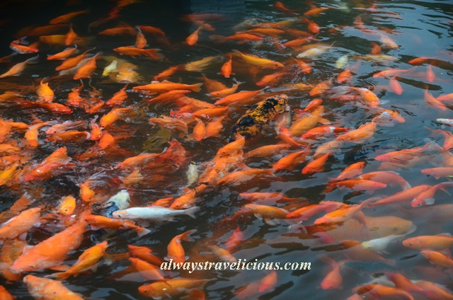 Fish viewing flower pond Hangzhou 6