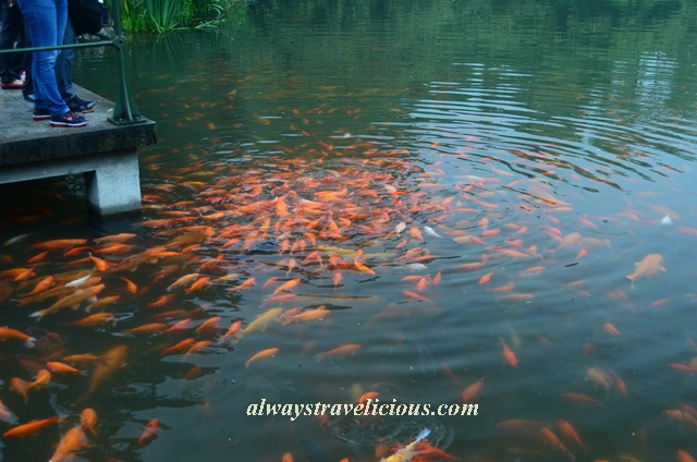 Fish viewing flower pond Hangzhou 7