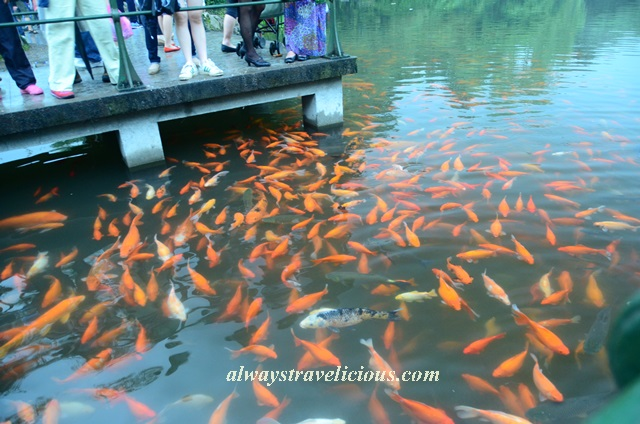 Fish viewing flower pond Hangzhou 14