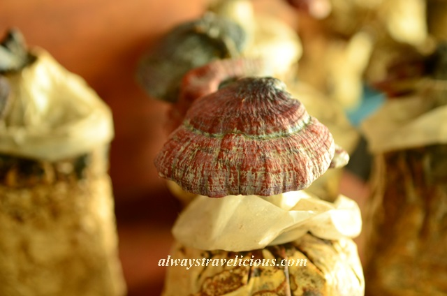 mushroom farm @ cameron highlands 2