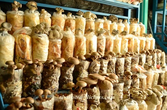 mushroom farm @ cameron highlands 5