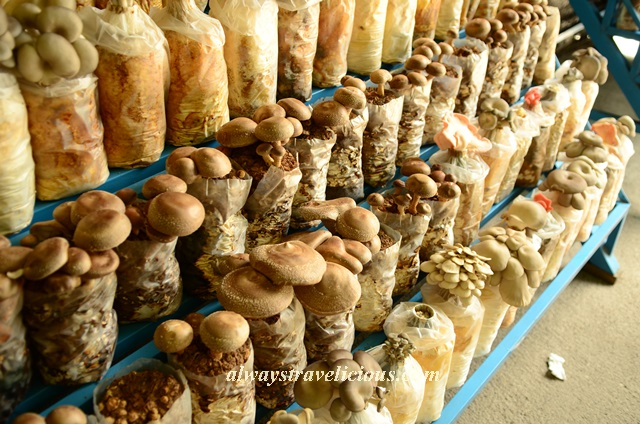 mushroom farm @ cameron highlands 8