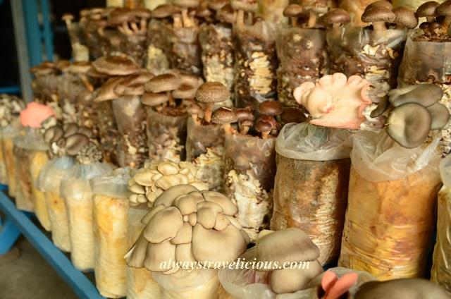 mushroom farm @ cameron highlands 10