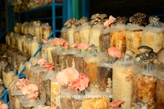 mushroom farm @ cameron highlands 11