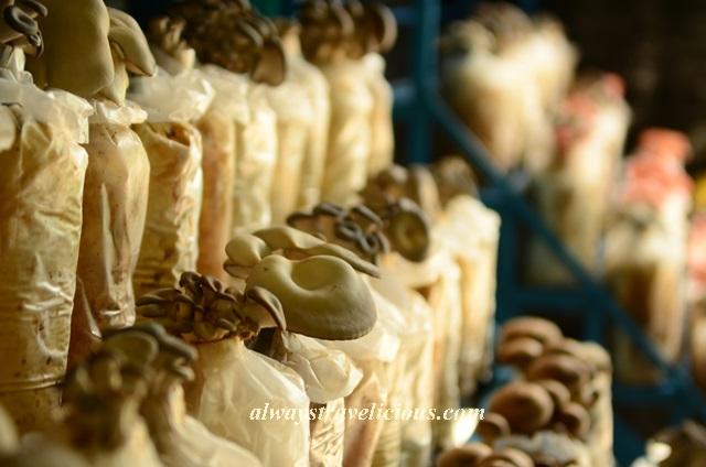 mushroom farm @ cameron highlands 14