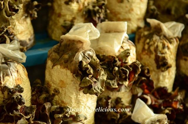 mushroom farm @ cameron highlands 17