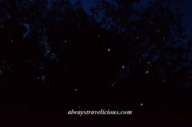 firefly Kuala Selangor 5