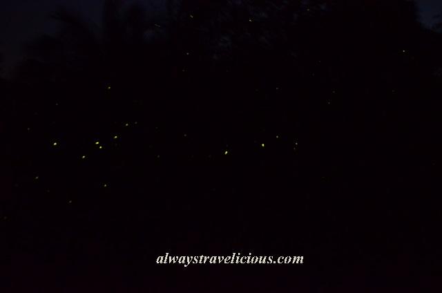 firefly Kuala Selangor 10